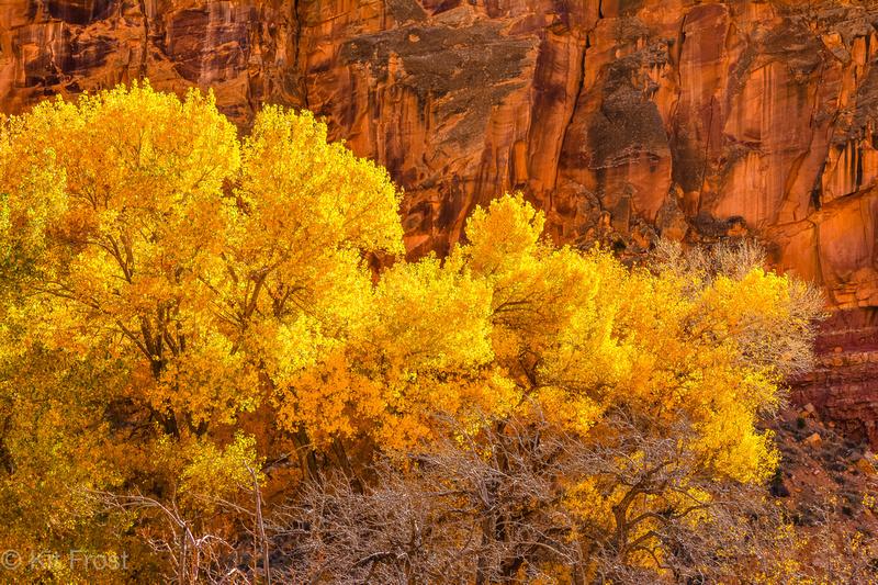 Golden Cottonwoods and Cliffs, Fruita
